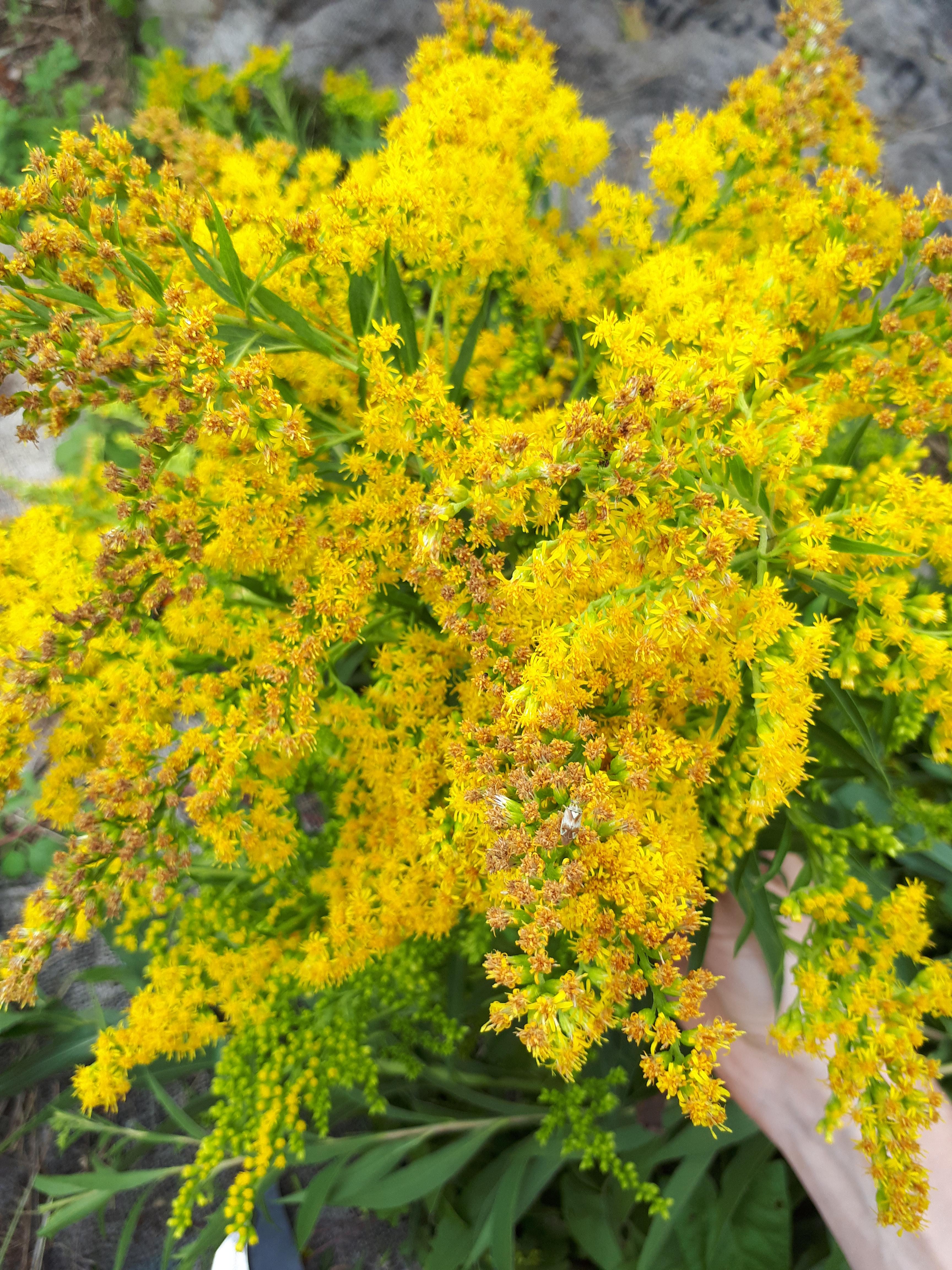 verge d'or; solidage; fleurs jaune