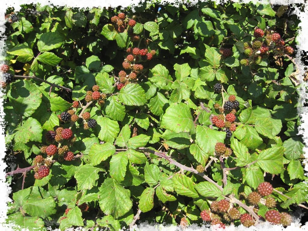 Rubus fruticosus - Ronce commune